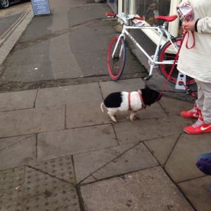Yes, it's a pig on a lead.  What more is there to say?